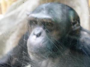 Chimp in Antwerpen